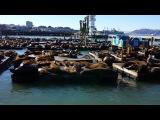 Морские львы в Сан Франциско))